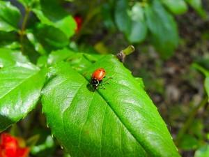 Ladybug_Garden