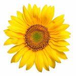 solar-halos-sunflower